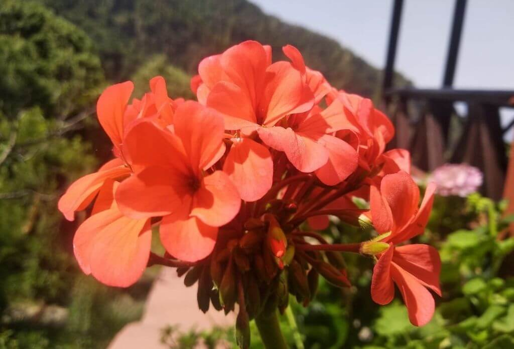 Geraniums Flower Jungle Lore Birding Lodge Pangot