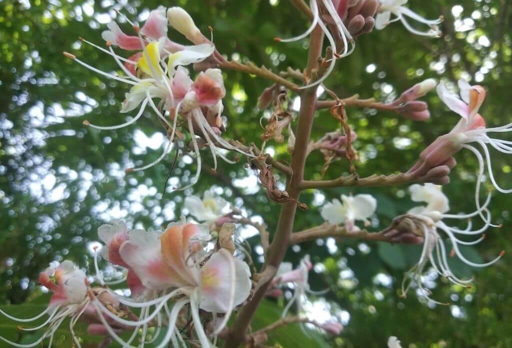 Horse Chestnut Flower Jungle Lore Birding Lodge Pangot