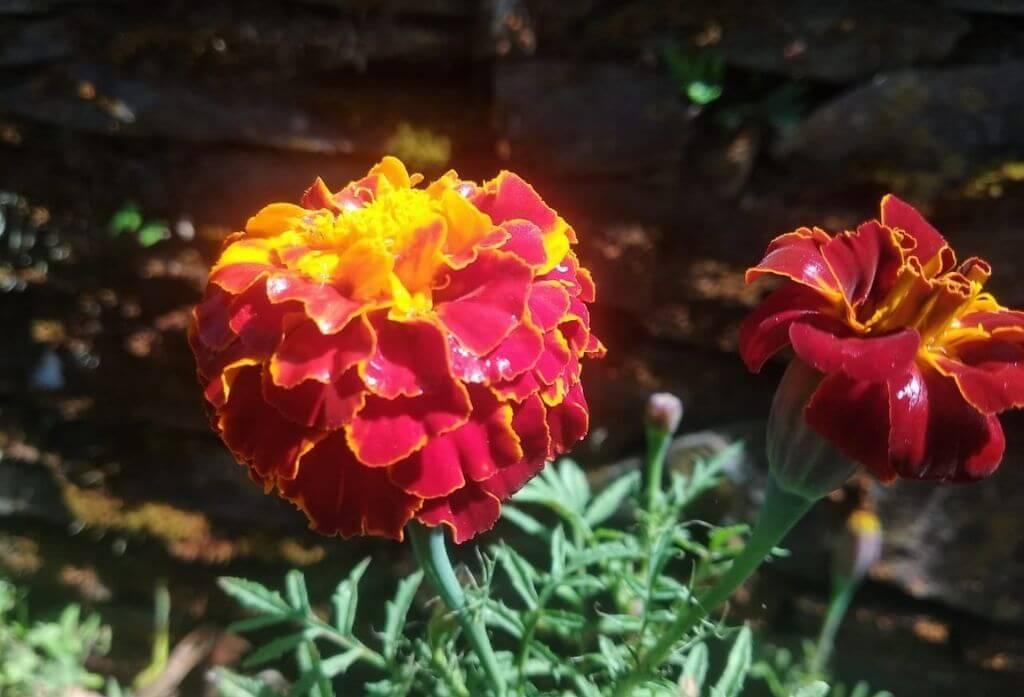 Marigold Flower Jungle Lore Birding Lodge Pangot