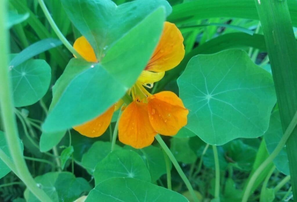 Nasturtiums Flower Jungle lore birding lodge pangot