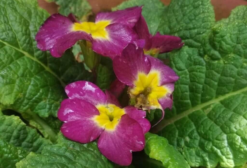Pansy Flower Jungle Lore Birding Lodge Pangot