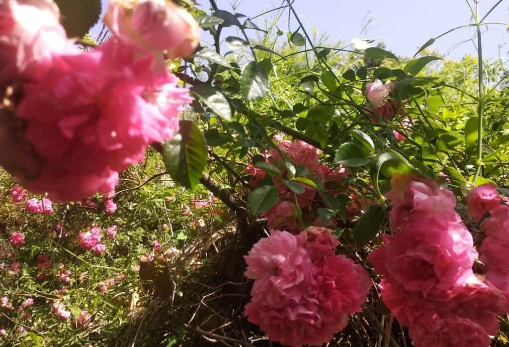 Pink Rose In Jungle Lore Birding Lodge Pangot