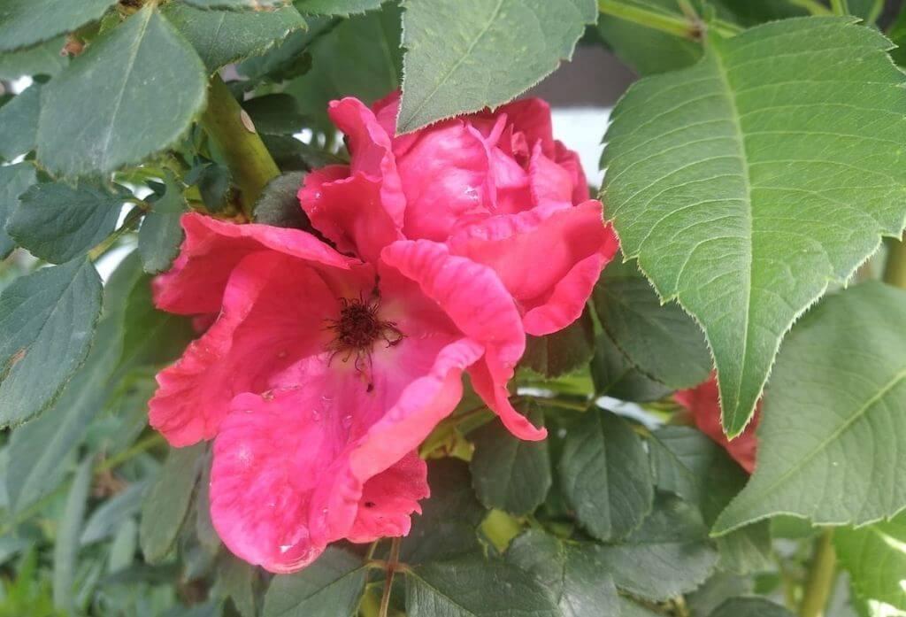 Rose Flower Jungle Lore Birding Lodge Pangot