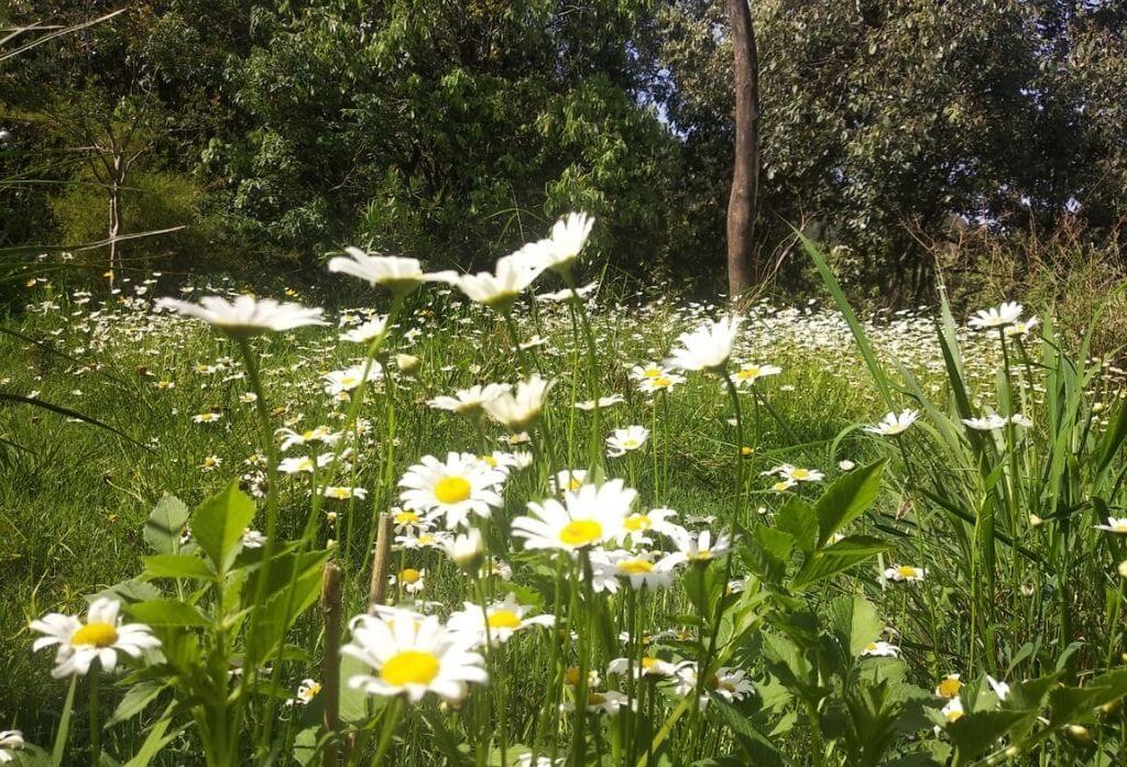 Wild Daisy Flower Jungle Lore Birding Lodge Pangot